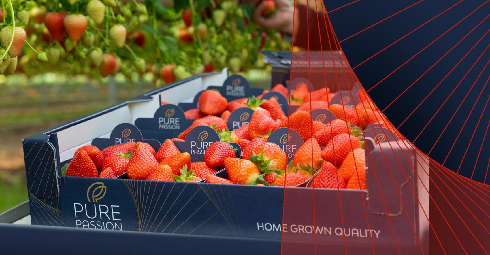 Vers uit Brabant! Heerlijke zoete aardbeien van Pure Passion.